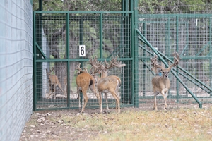Pine Meadow Breeder Bucks